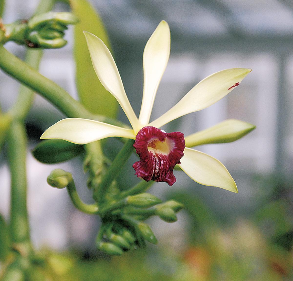 「赤いバニラ」初開花