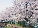 毎年多くの桜が咲きます