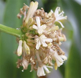 甘い香りが漂う幸福の木の花