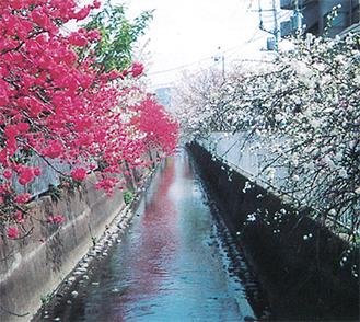 花が咲き誇る二ヶ領用水沿いの桃並木(提供=二ヶ領用水中原桃の会)