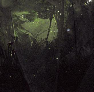 網の中で輝くホタル(2日撮影)