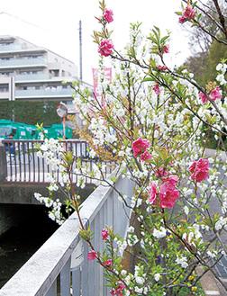 二ヶ領用水沿いに咲く桃