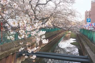 渋川の桜並木