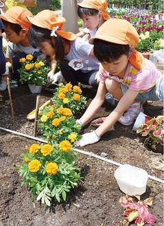 マリーゴールドを花壇に植える園児ら