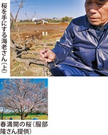 折れた枝から5輪の桜