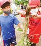 稲を束ねる児童ら