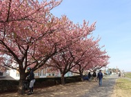早春の訪れ告げる「河津桜」、あでやかに