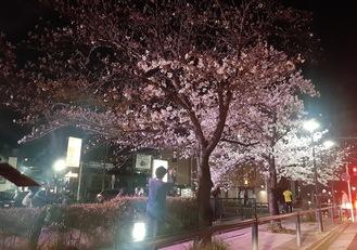 ライトアップされた桜にスマホを向ける人=3月24日、同所