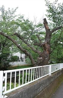 渋川沿いにある伐採予定の樹木