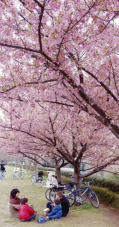 河津桜ようやく満開