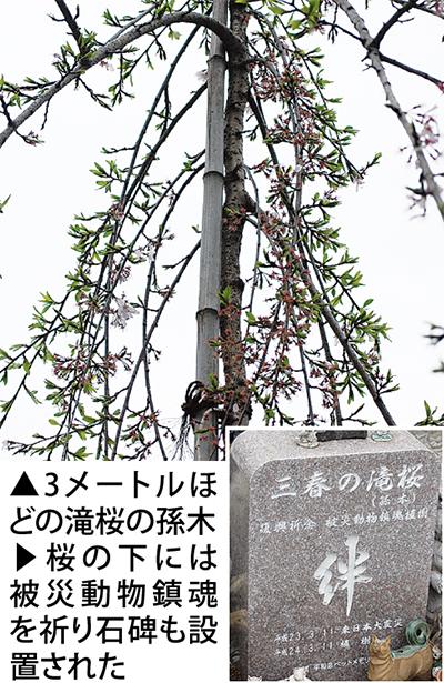 鎮魂の滝桜、花開く