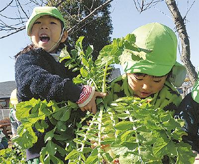 園庭で大根130本を収穫