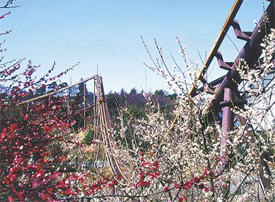 約200本の梅が咲き乱れる