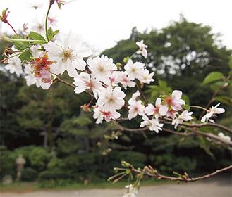 小ぶりで可憐な花をつけた(写真は21日撮影)