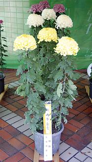 大切に育てられた菊が並ぶ(写真は昨年)