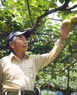 出荷を間近にひかえた梨の様子をみる金子さん(7月27日撮影)