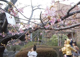 区役所中庭で開花した河津桜(3月9日撮影)