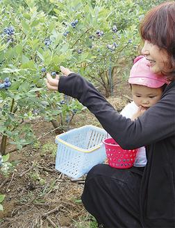 収穫を手伝った小さな子どもも食べるのに夢中