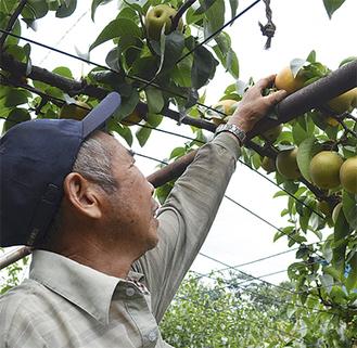 順調に育つ梨の様子を見つめる金子さん(7月20日撮影)