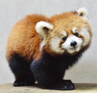 名前がギンガに決まったレッサーパンダの赤ちゃん