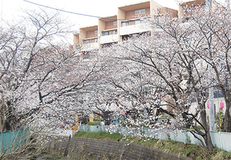 桜の名所として知られる麻生川(写真は昨年撮影)