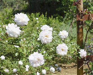 園内に咲くバラ