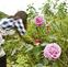 200種のバラを公開
