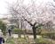 玉縄・河津桜が満開
