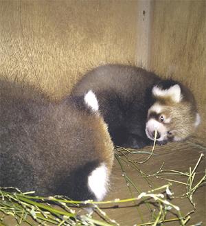巣箱内で過ごす双子の赤ちゃん