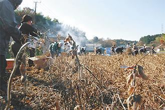 乾燥した大豆を収穫していった
