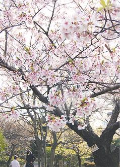 ピンク色の玉縄桜が咲き誇る(3月11日撮影)
