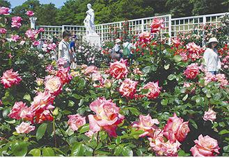 バラが咲き競う苑内(昨年の様子)