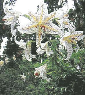 区の花「ヤマユリ」