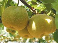 市内産の梨を堪能