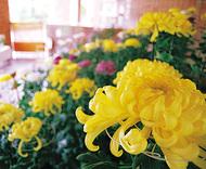 自慢の菊花を展示