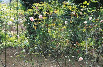 同園に咲いた秋のバラ