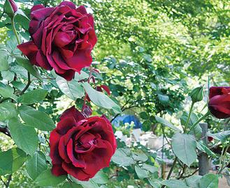 ローズオカガミに咲いたバラ(昨年の様子)