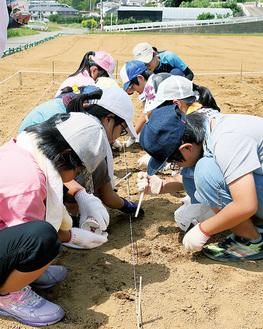 2センチほど土を掘って大豆を植付