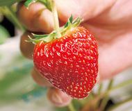 「夏のイチゴ」収穫に挑戦