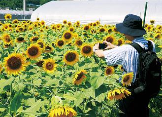 大きく咲いたヒマワリをパチリ(8月16日撮影)