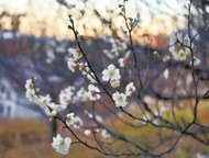 麻生に春の訪れ、梅開花