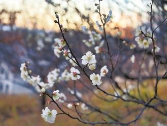 ほのかに香るよこみね緑地の梅(2月8日撮影)
