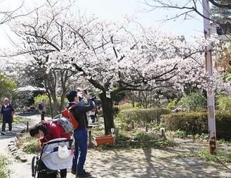 玉縄桜を前にスマホで撮影