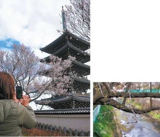 香林寺のコヒガンザクラ(左)と咲き始めた麻生川のソメイヨシノ=3/17撮影