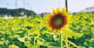 花を咲かせ始めた(8月6日撮影)。畑内に通路があるので、写真撮影も可能(密を避けるため一方通行)