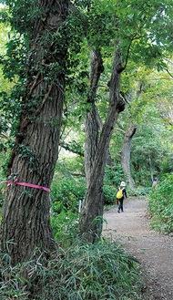 遊歩道沿いにあるナラ枯れに感染した木(麻生区市民健康の森=24日撮影)