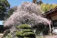 春告げる 「しだれ梅」満開