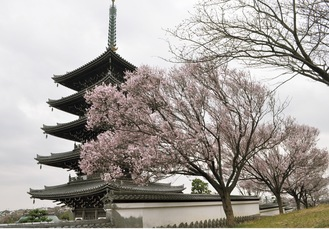 五重塔の周りで咲き誇る桜=20日撮影