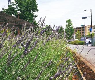 2種類のラベンダーが咲いている=6月7日撮影