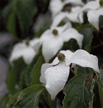 梅雨空を白く彩る